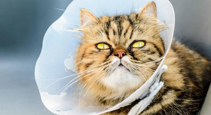 Castração de Gato Pestana - Cirurgia em Animais de Pequeno Porte